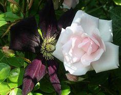 Rose 'New Dawn' and Clematis 'Romantika'
