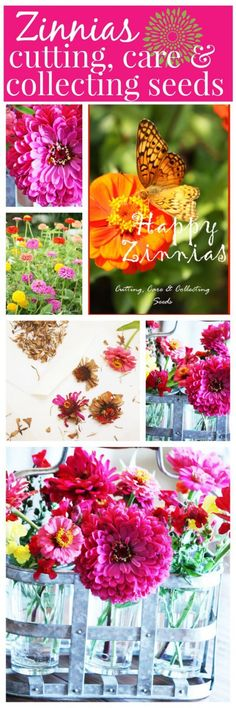 ZINNIAS- Cutting, care and collecting seeds for a summer of happy blooms every year! stonegableblog.com