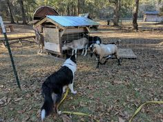 Galaxy, a young Scottish Collie, checks out the goats. Scotch Collie, Livestock, Goats, Animals, Animales, Animaux, Animal, Animais, Goat