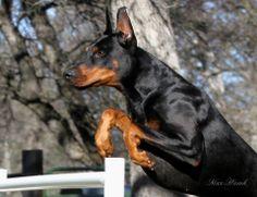 Max Hawk JUST JAKE JUMPING... #Dobermanpinscher #Doberman