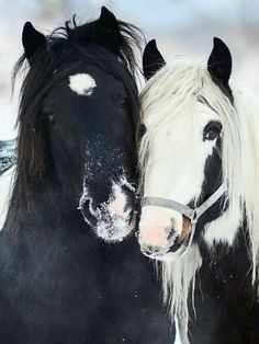 Adorable pair of black and white horses. All The Pretty Horses, Beautiful Horses, Animals Beautiful, Cute Horses, Horse Love, Horse Photos, Horse Pictures, Animals And Pets, Cute Animals