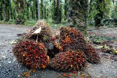 Nearly half of all products in supermarkets contain palm oil. In the past 40 years, more than a third of the Borneo rain forest has been destroyed. About half of that land has turned into palm oil plantations.