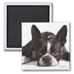 #Lazy Boston Terrier Magnet - #boston #terrier #puppy #dog #dogs #pet #pets #cute #bostonterrier