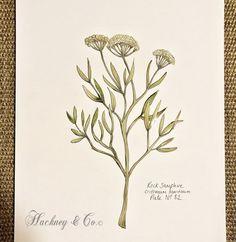 ©Hackney & Co Day 82 #rocksamphire #scottish #wildherb #botanicalillustration #watercolour #ink #herbs #botanica #100daysofillustration #hackneyandco100days