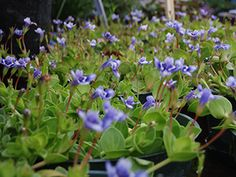 Blue Moneywort is another low growing plant that blooms all season.