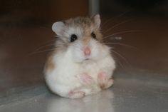 adorable dwarf hamster