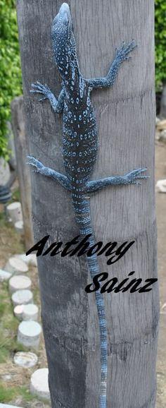 Blue Tree Monitor Lizard | SOLD!! Male Blue Tree Monitor Cheap - FaunaClassifieds