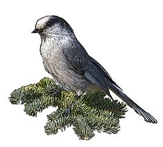 National Bird Project - Canadian Geographic - Vote for Canada's national bird Read the Gray Jay/Canada Jay (whiskey jack) comments, they make a very compelling case for the bird. I like the idea of a bird that lives primarily in Canada. Gray Jay, Flower Tat, Out Cold, Lisa S, Love Birds, Dark Grey, Around The Worlds, Creatures, Canada