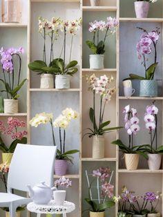 Phalaenopsis (Orchidee) I LOVE orchids! Moth Orchid, Phalaenopsis Orchid, Orchid Plants, Orchid Care, Indoor Garden, Indoor Plants, Decoration Plante, Orchid Arrangements, Orchids Garden