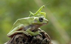#Frog #PrayingMantis