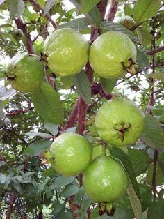 Guavas in the Philippines Fruit Plants, Fruit Garden, Fruit Trees, Trees To Plant, Fruit And Veg, Fruits And Veggies, Fresh Fruit, Vegetables, Colorful Fruit
