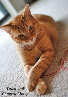 Such a cute Orange Tabby Cat. Awwww..... :). Makes me miss my Goldie like crazy!! #mommasboy