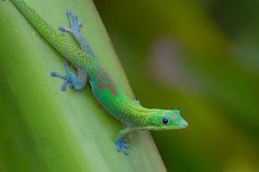 Gold Dust Day Gecko   by toryjk