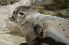 Observer la faune en Irlande..   #ireland #irlande #alainntours #phoque #seal #animal   © Wikimedia commons