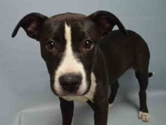 PULLED BY POUND HOUNDS RES-Q - 03/19/16 - **PUPPY ALERT** - SQUEEKY - #A1067342  - Urgent Brooklyn - FEMLE BLACK/WHITE AM PIT BULL TER MIX, 5 Mos - STRAY - NO HOLD Intake 03/11/16 Due Out 03/14/16 - VERY SWEET AND FRIENDLY GIRL, EASY TO HANDLE - CAME N WITH SQUIGGLE #A1067343