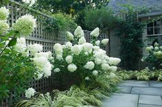 Fill a space with shrubs. Use panicle hydrangea (Hydrangea paniculata 'Limelight', zones 3 to 8) with frothy Japanese forest grass (Hakonech...