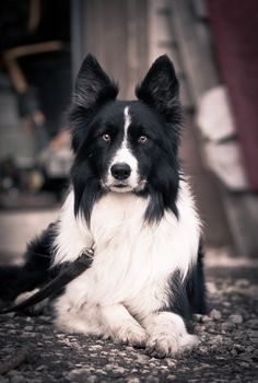 all-things-bright-and-beyootiful:  Border Collie by Brandon Pieplow