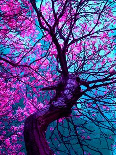 Cherry Tree, Kyoto, Japan The cherry blossoms are the most beautiful tree flowers in the entire world, according to me. They completely drench the tree in a soft pink, and I've never seen something more gorgeous. Image Nature, All Nature, Amazing Nature, Beautiful World, Beautiful Images, Beautiful Flowers Pics, Purple Trees, Purple Colors, Pink Blue