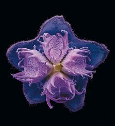 Blütenkelch der Himalaya-Hundszunge (Cynoglossum nervosum)