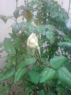 pokotali Plants, Plant, Planting, Planets