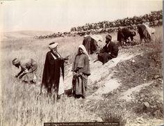 Bonfils. Palestine, Champ de Booz, Scène biblique     #Orient #Palestine_Palestina