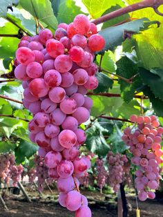 Rare Colour Grape Seeds Healthy And Organic Fruit Seeds Natural Growth Grapes Perennial Outdoor Plants For Garden - Modern All Fruits, Best Fruits, Fruits And Vegetables, Organic Vegetables, High Fiber Fruits, Fruit List, Fruit Picture, Herbal Plants, Fruit Seeds