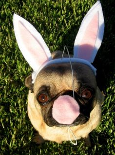 If this doesn't make you smile, then who knows what will? A pug turned bunny may not be cuter than a pug itself, but it is pretty darn close.