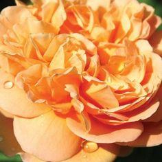 Apricot Impressionist™