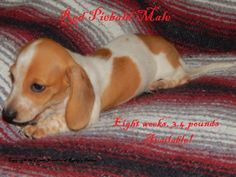 Mothers Day Speial Miniature Dachsund Puppies Puppies Dogs