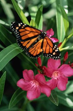 Monarchs are my favorite!!  -AB
