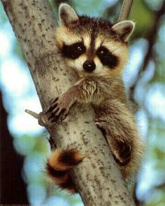 Aww look at the little baby racoon so cute! If I ever get a raccoon, his name will be Sheldon//[ Or her name will be Penny(; Forest Animals, Nature Animals, Animals And Pets, Wild Animals, Strange Animals, Cute Creatures, Beautiful Creatures, Animals Beautiful, Cute Baby Animals