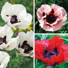 Buy the Papaver Orientale Collection and save £6.95. A true cottage garden favourite and great for the herbaceous border. Established plants supplied in 9cm pots.