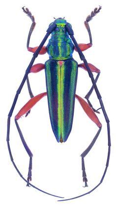 Mionochroma  aureotinctum