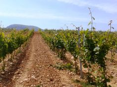 La orientación de los viñedos es norte.