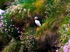 Puffin    Photograph by Zhouyang Sun, My Shot    Each spring nearly a million puffins arrive at the cliffs of Scotland's west coast to lay their eggs. These birds, with their colorful beaks and doleful expressions, can be seen darting to and from the ocean, gathering mouthfuls of fish for their hatchlings.
