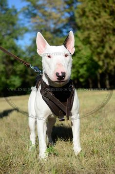 #Bull #Terrier #Training #Leather #Harness $54.90 | www.english-bull-terrier-dog-breed-store.com