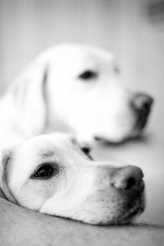 yellow labradors.