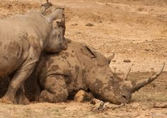 Hluhluwe-iMfolozi Game Reserve has the biggest population of white rhinos. These were lazying in the mud. The first big 5 we saw. Awesome animals! KwaZulu-Natal, South Africa