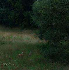 Rehe am Wald - Zwei Rehe äsen im Morgengrauen am Waldrand.