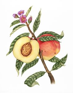 Illustration drawing style of peach Fruits Drawing, Plant Drawing, Peach Trees, Peach Flowers, Peach Tattoo, Peach Paint, Fruit Vector, Peach Fruit, Fruit Illustration