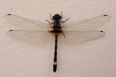 A beautiful dragonfly resting in a wall in my backyard.