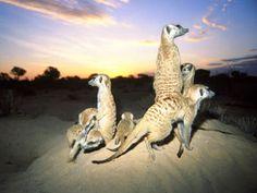 Meerkat Manor: Meerkat Clan at Dawn Mammals, Dawn