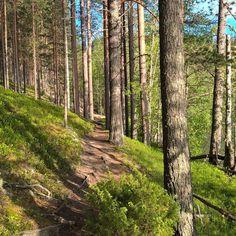 Metsäpolku kutsuu kulkijaa #metsäpolku #forestpath #metsä #forest #polku #path #mäntymetsä #pineforest #finland #suomi #wellnestravel #summer #rokua #visitrokua #trees #woods