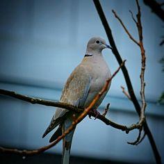 Eurasian Collared-Dove  Streptopelia decaocto  Common permanent resident