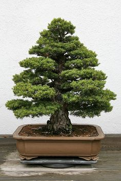 RK:Japanese White Pine (Pinus parviflora) 'Zui-sho' | Flickr - Photo Sharing!