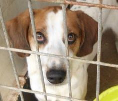 LONER is an adoptable Treeing Walker Coonhound searching for a forever family…