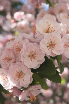 pale pink cherry blossoms