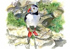 Puffin by Ron Stephens Pen And Wash, Small Canvas, Bird Drawings, Watercolor Bird, Painting & Drawing, Bird Paintings, Birds, Artist, Animals