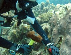 Assistant Professor Marilyn Brandt of the University of the Virgin Islands' Marine and Environmental Science division collects samples of co...