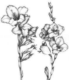 Gladiola Line Drawing Persaud,